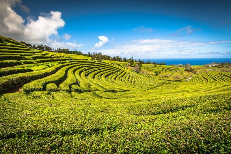 Plantation de thé à Porto Formoso Paysage étonnant d'outstandin photo stock