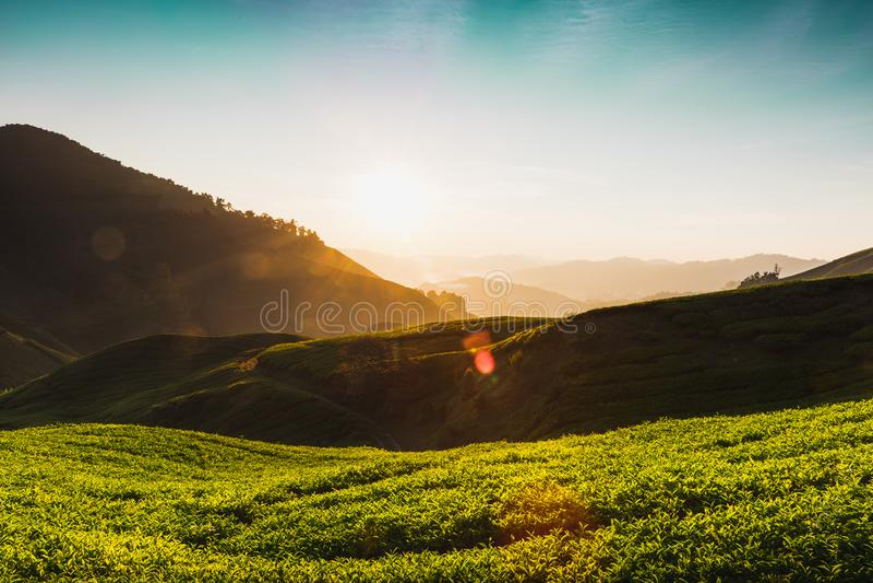 Plantation de thé photo libre de droits