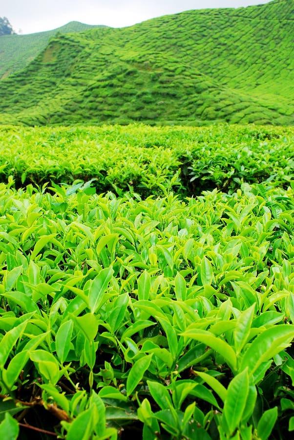 Plantation de thé images libres de droits