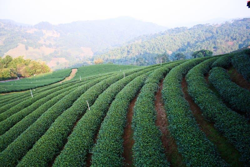 Plantation de thé photo stock