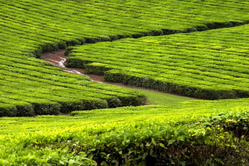 Plantation de thé 2 images libres de droits