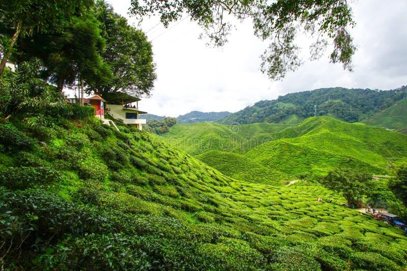 Download Plantation de thé image stock. Image du malaysia, scène - 76083455