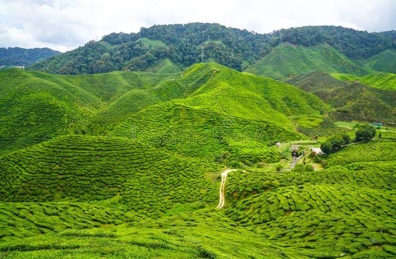 Download Plantation de thé image stock. Image du cameron, montagnes - 76083503