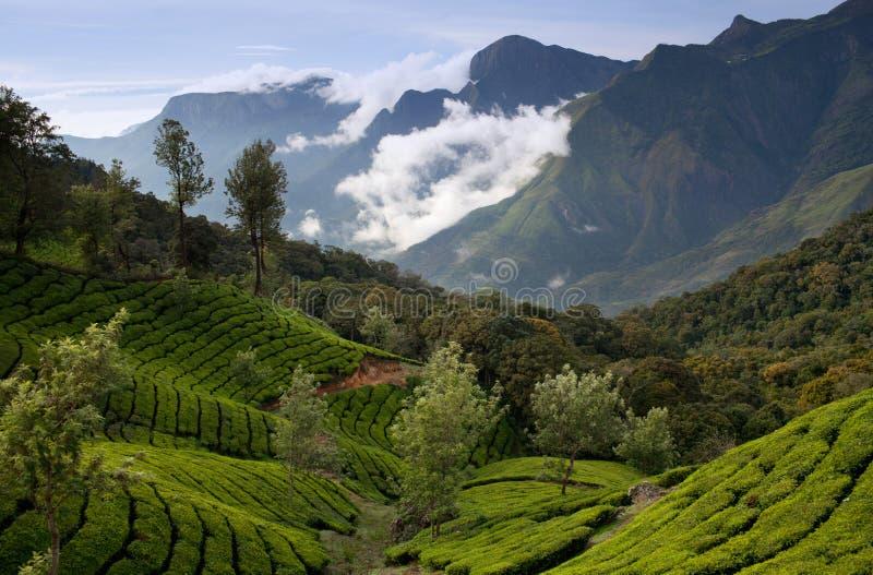 Plantation de thé au Kerala, Inde du sud photographie stock
