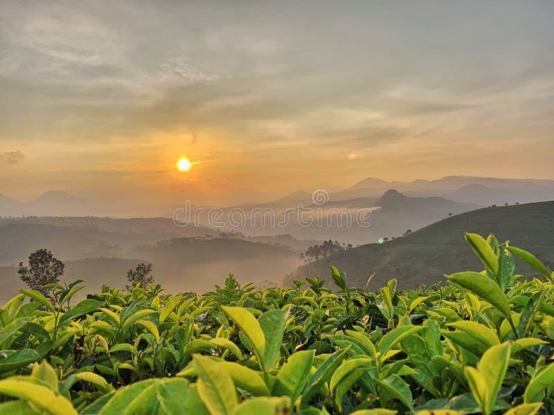 plantation de thé au lever de soleil image stock