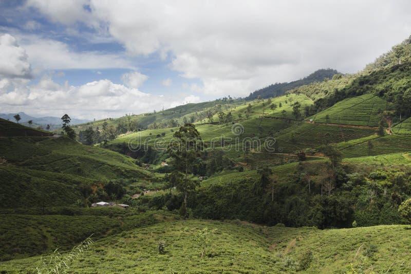 Plantation de thé au Sri Lanka photo libre de droits