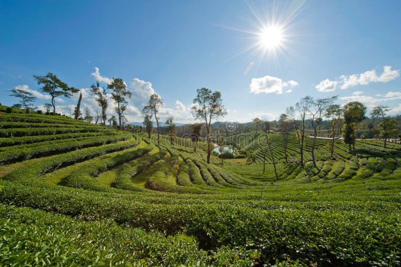 Plantation de thé avec le rayon du soleil sous le ciel bleu image libre de droits