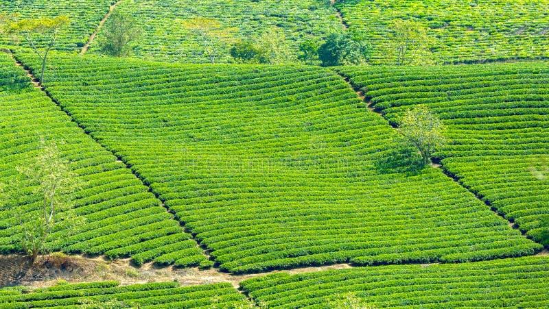 Plantation de thé bleue de losange sur le flanc de coteau image stock