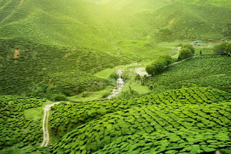 Plantation de thé d'Assam photographie stock libre de droits