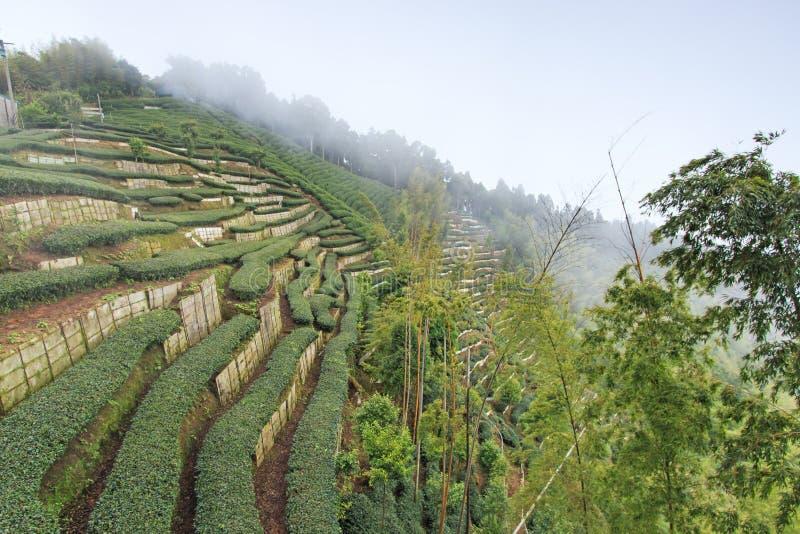 Plantation de thé d'Oolong à Taïwan images libres de droits