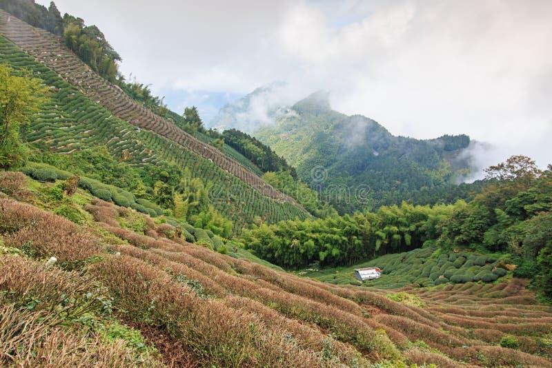 Plantation de thé d'Oolong à Taïwan photos stock