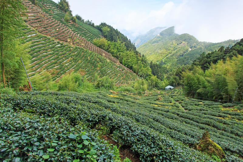 Plantation de thé d'Oolong à Taïwan photo libre de droits