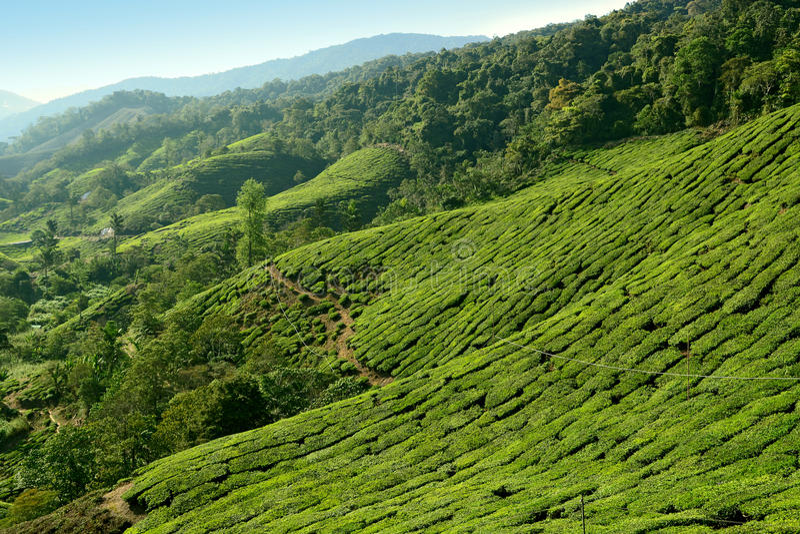 Plantation de thé de Cameron Highlands photographie stock libre de droits