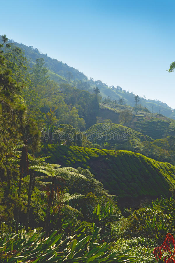 Plantation de thé de Cameron Highlands photos libres de droits
