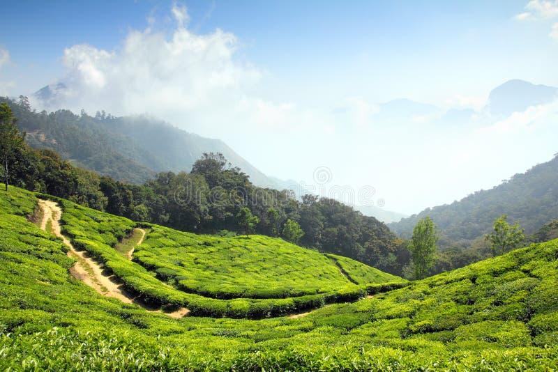 Plantation de thé de montagne dans l'Inde photos libres de droits