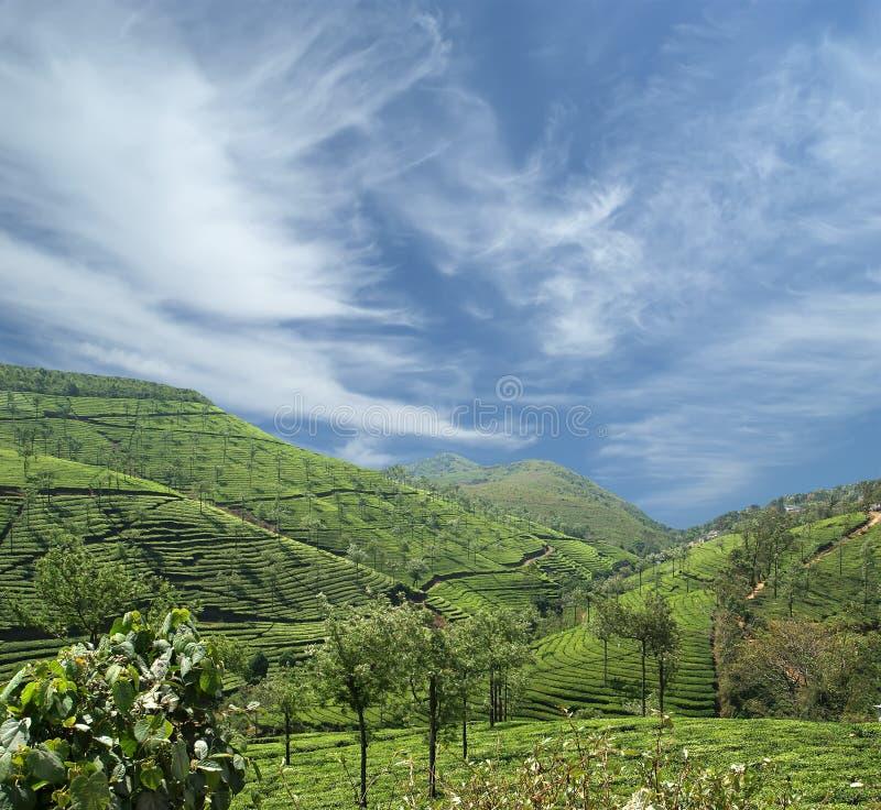 Plantation de thé du Kerala, Inde du sud image libre de droits