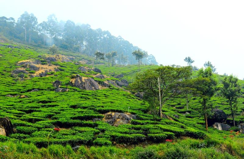 Plantation de thé en brume, Kerala, Inde du sud photographie stock