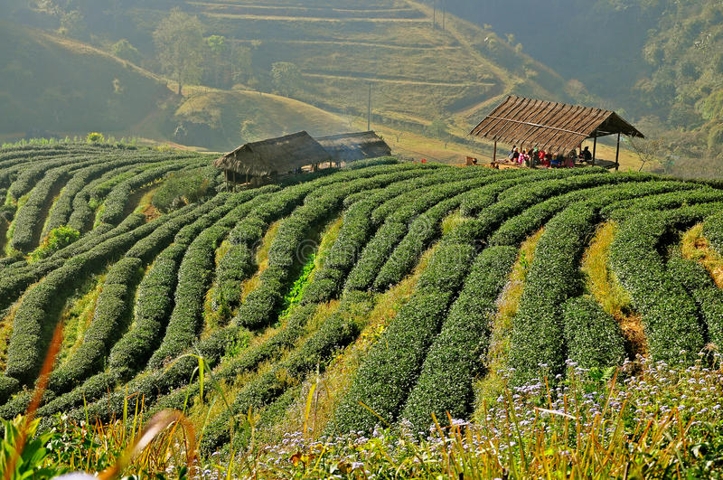 Plantation de thé en Chiang Mai, Thaïlande image libre de droits