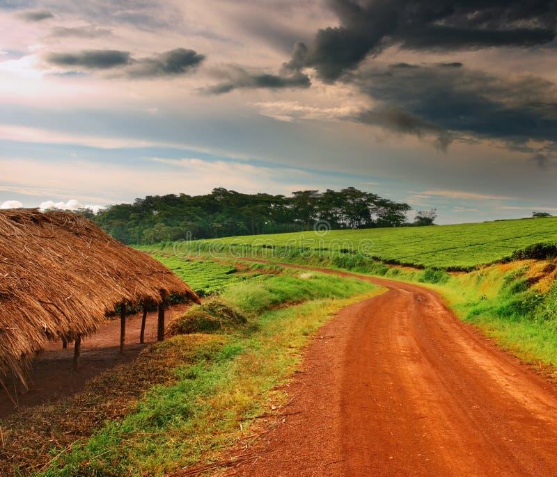 Plantation de thé en Ouganda photographie stock libre de droits