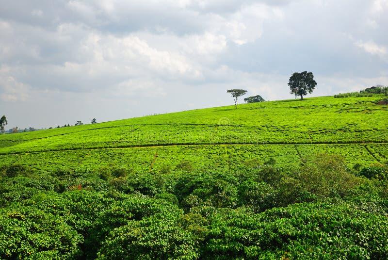 Plantation de thé en Ouganda photo stock