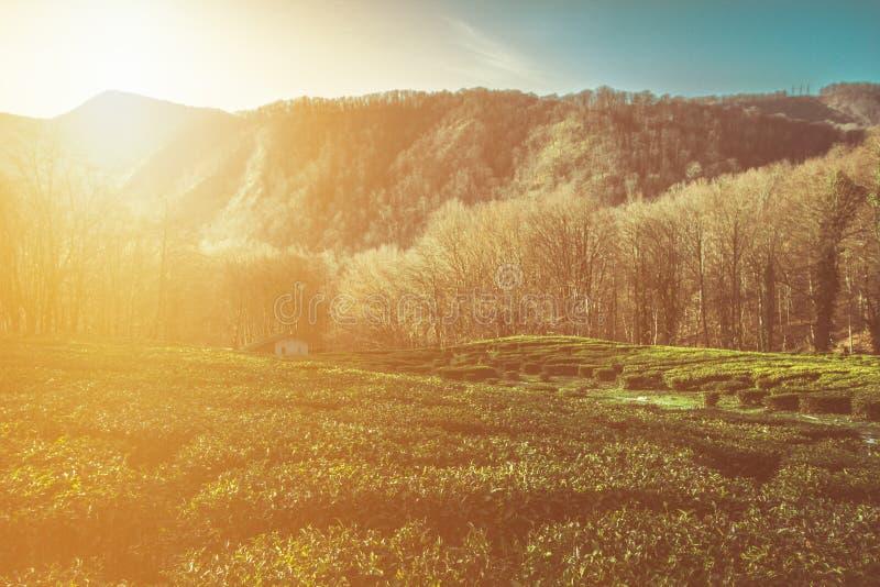 Plantation de thé et montains photos stock