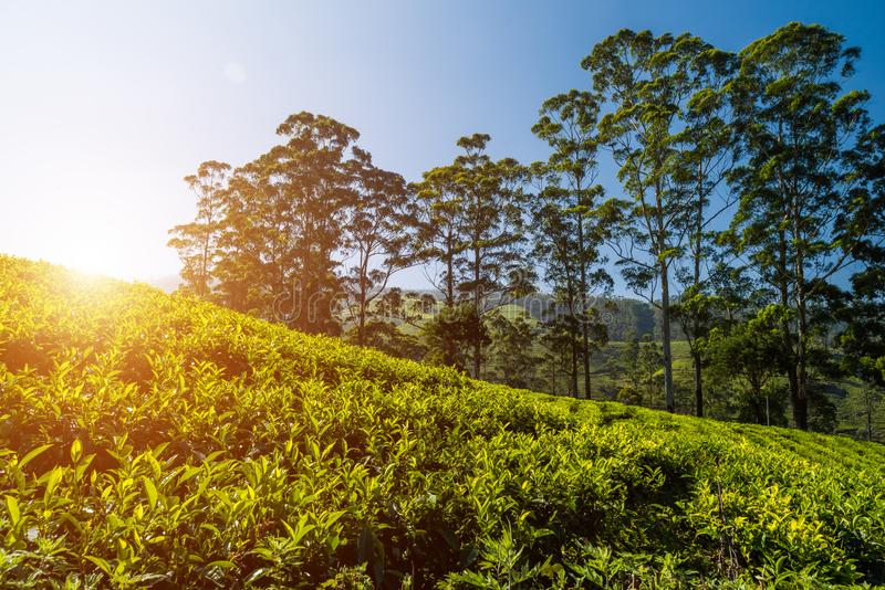 Plantation de thé, Kerala, Inde Bel horizontal idyllique images stock