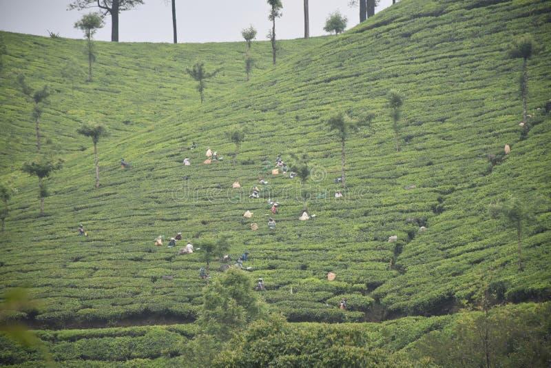 Plantation de thé l'explorant munnar photo stock