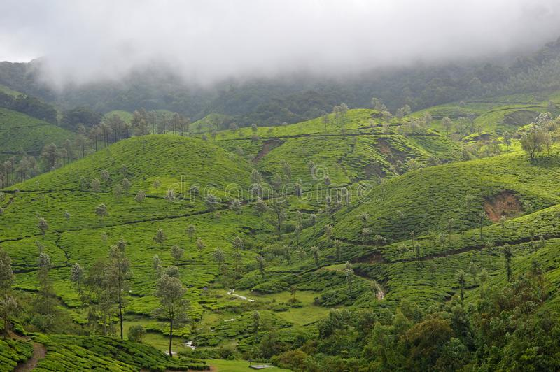 Plantation de thé, Munnar, Kerala, Inde du sud image stock