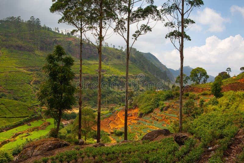 Plantation de thé de Nuwara Eliya dans Sri Lanka photographie stock