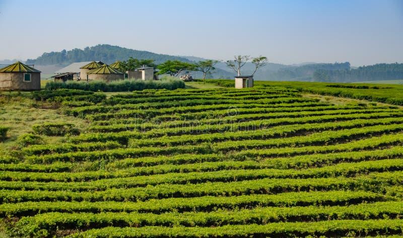 Plantation de thé, Ouganda image stock