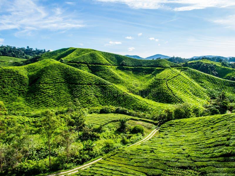 Plantation de thé sur la montagne verte photo libre de droits