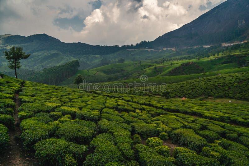 Plantation de thé vert au Kerala munnar Inde images libres de droits