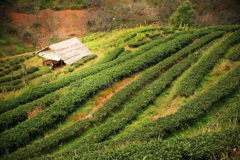 Plantation de th? image libre de droits
