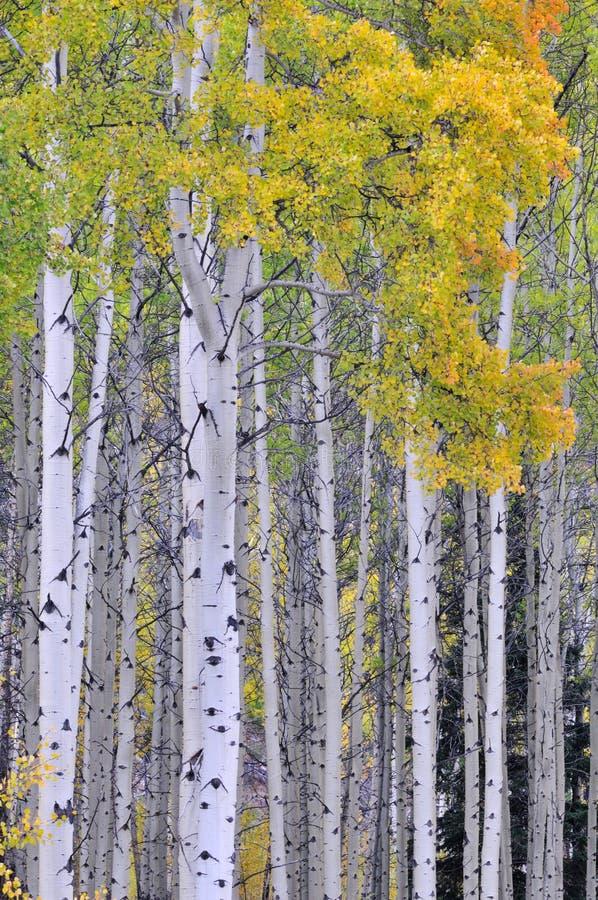 Plantation de tremble d'automne photographie stock libre de droits