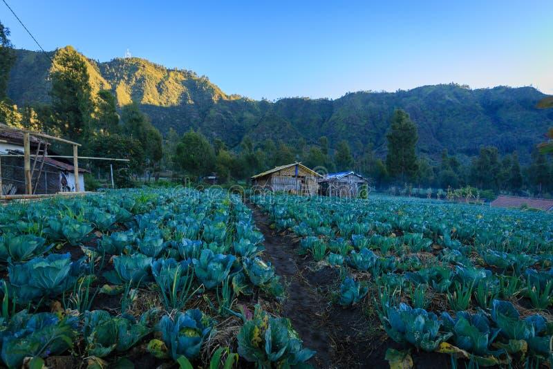 Plantation de Vegatable dans le bâti Bromo, Indonésie images libres de droits