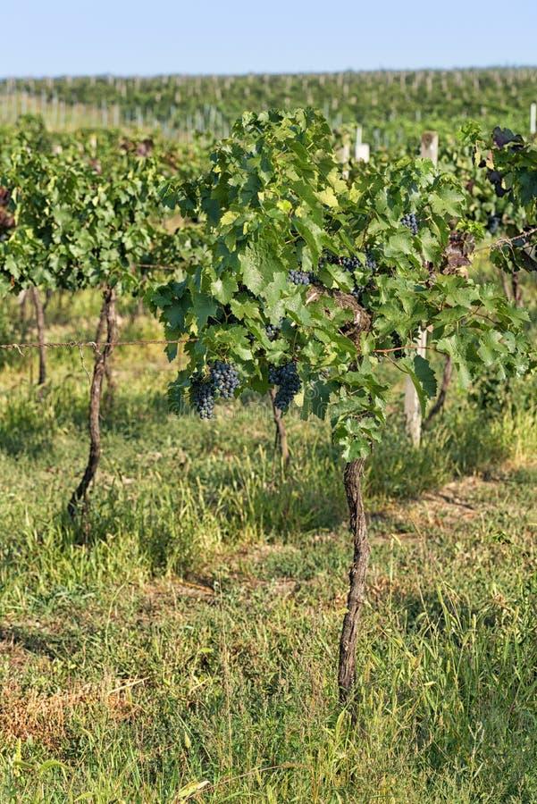 Plantation de vignoble photos libres de droits