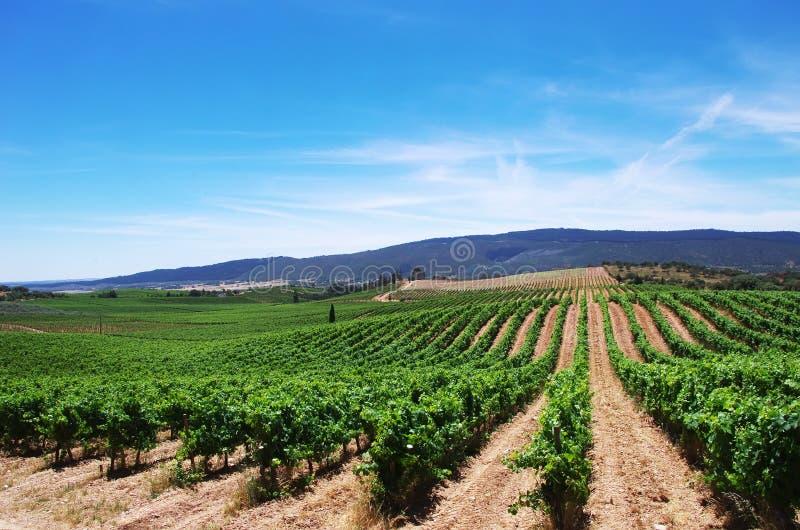 Plantation de vignoble dans la région de l'Alentejo photographie stock