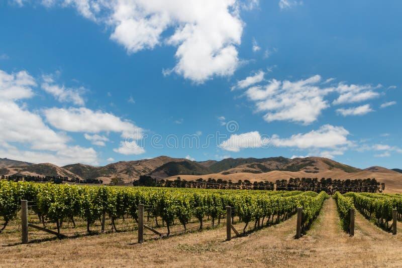 Plantation de vignoble en collines de Wither image stock