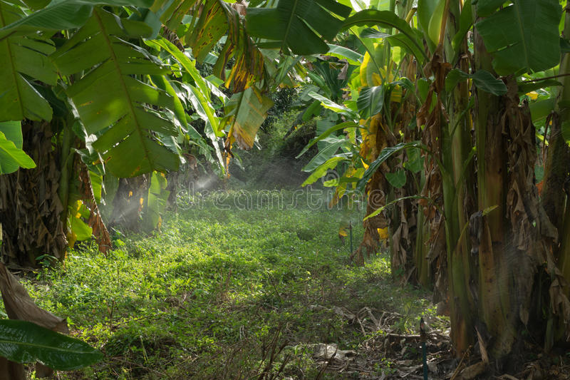 Plantation des bananiers images libres de droits
