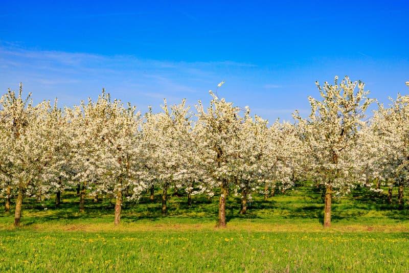 Plantation des cerisiers fleurissants blancs contre un ciel bleu photographie stock libre de droits