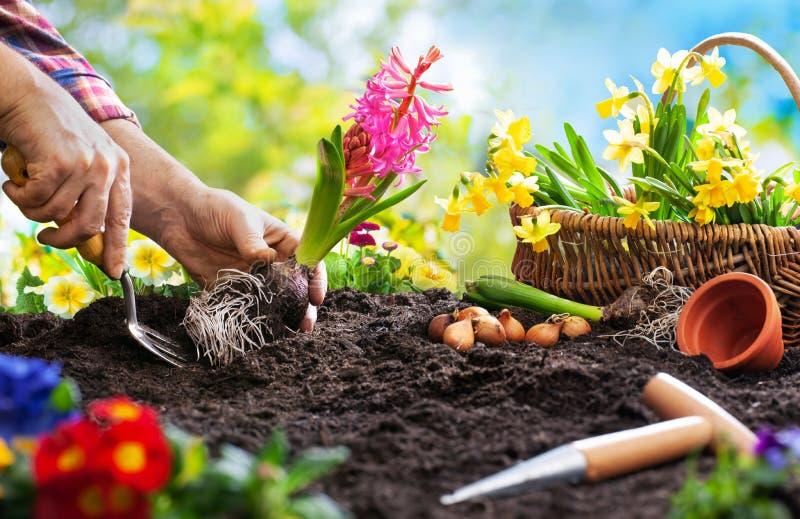 Plantation des fleurs de ressort dans le jardin photo libre de droits
