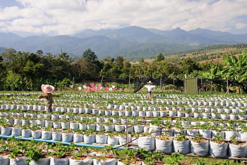 Plantation des fraises image stock