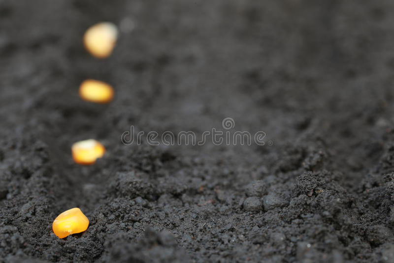 Plantation des graines de maïs vert image stock