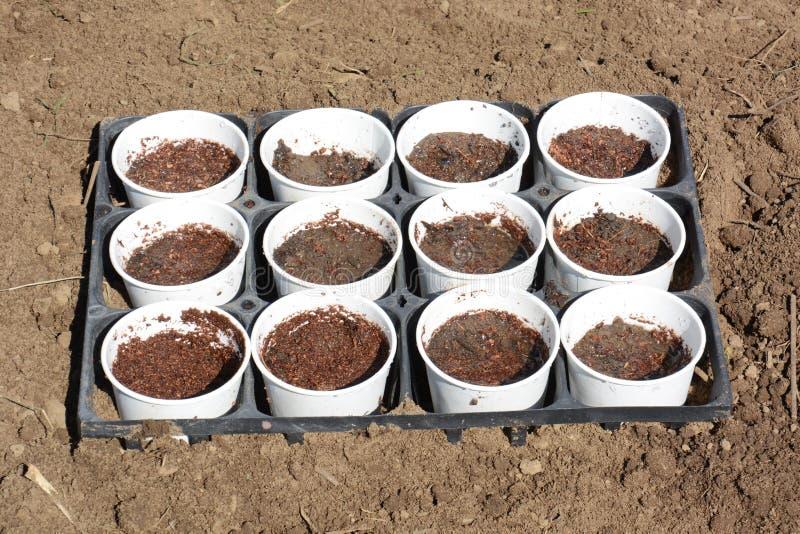 Plantation des graines du pois photo stock