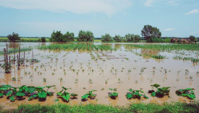 Plantation des légumes et des céréales détruits par des inondations photos libres de droits