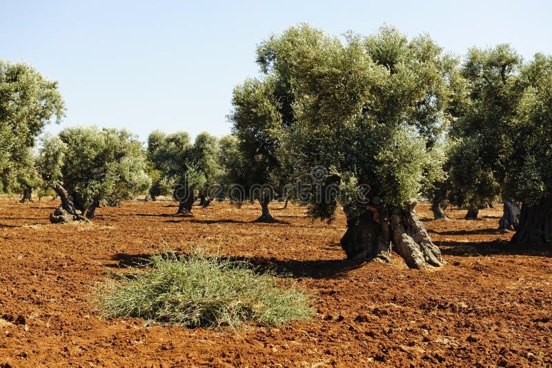 Plantation des olives images libres de droits