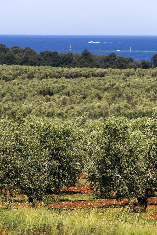 Plantation des oliviers photos stock