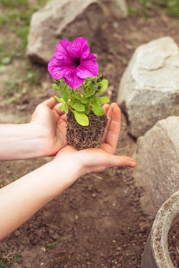 Plantation des pétunias de jeunes plantes photos stock