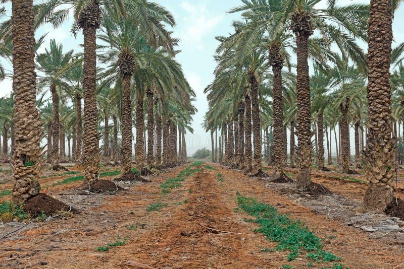 Plantation des palmiers image stock
