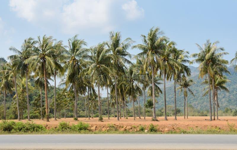 Plantation des palmiers de noix de coco image libre de droits
